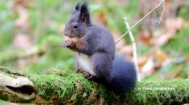 Eichhörnchen Wald